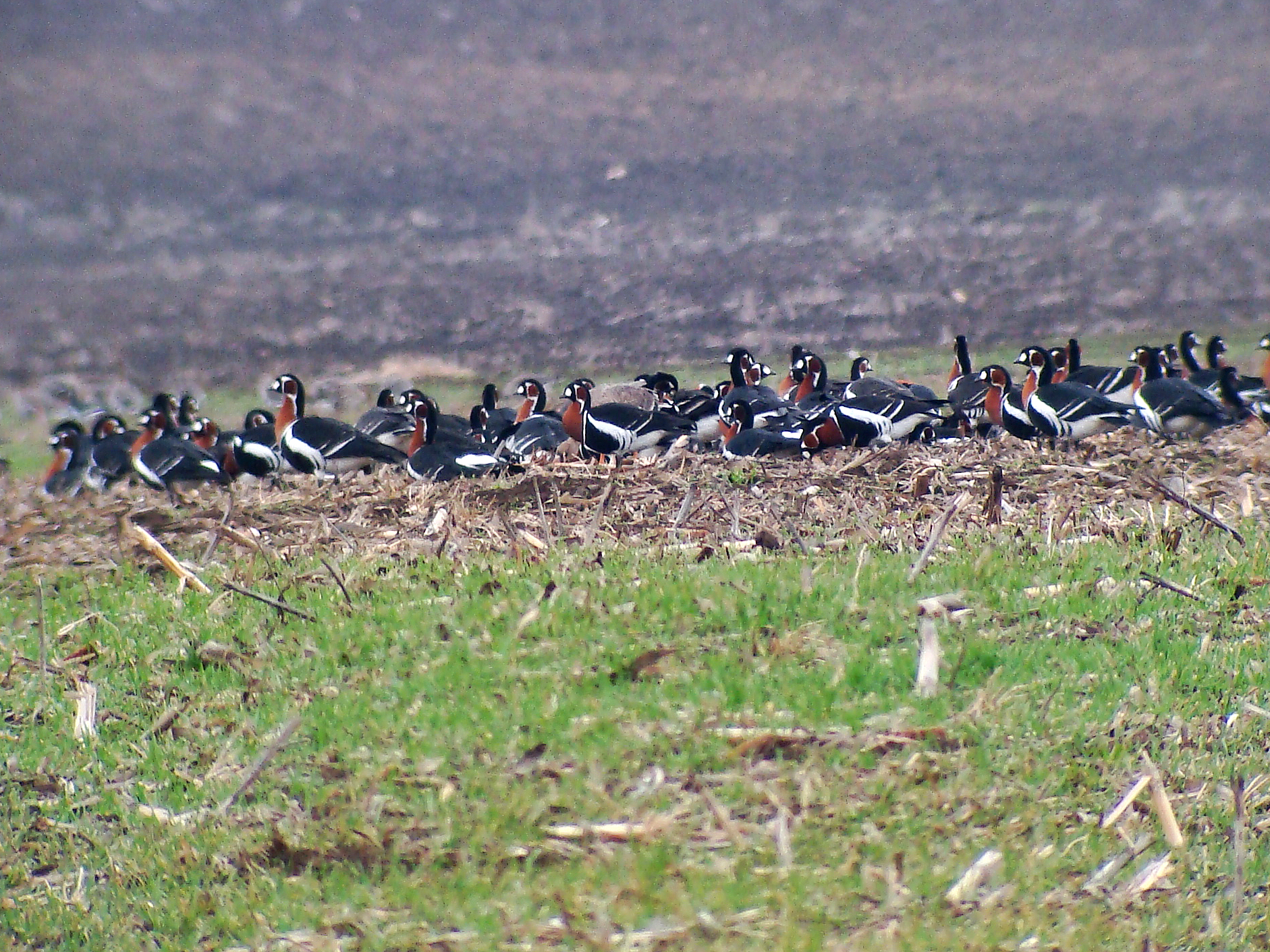 Red-breasted geese tour in Bulgaria