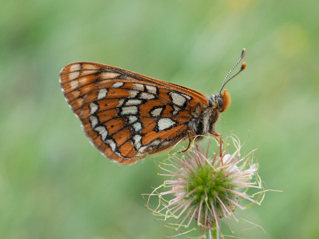 Summer butterflies of Bulgaria