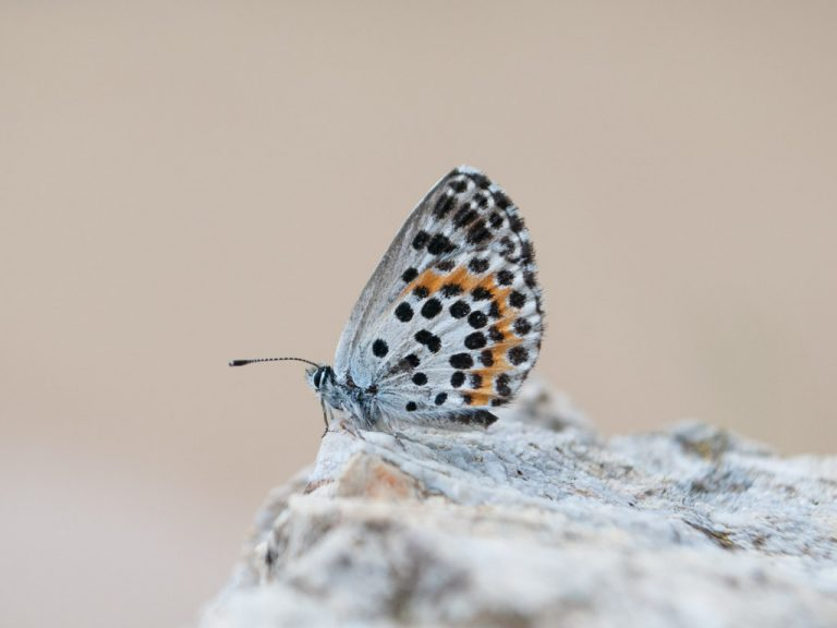 Early butterflies of Bulgaria