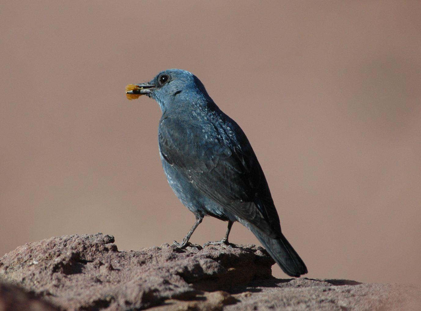 Blue Rock Thrush - Bulgaria