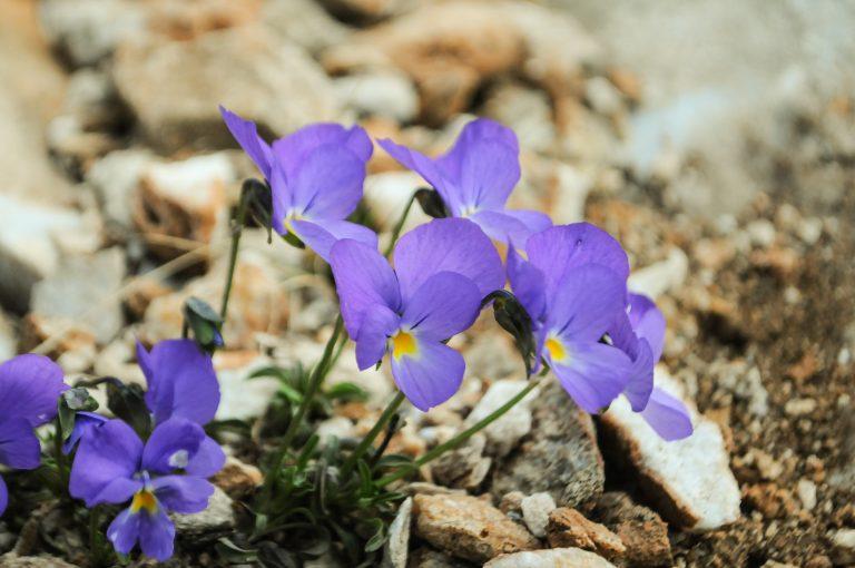 Mountain botany tours in Bulgaria